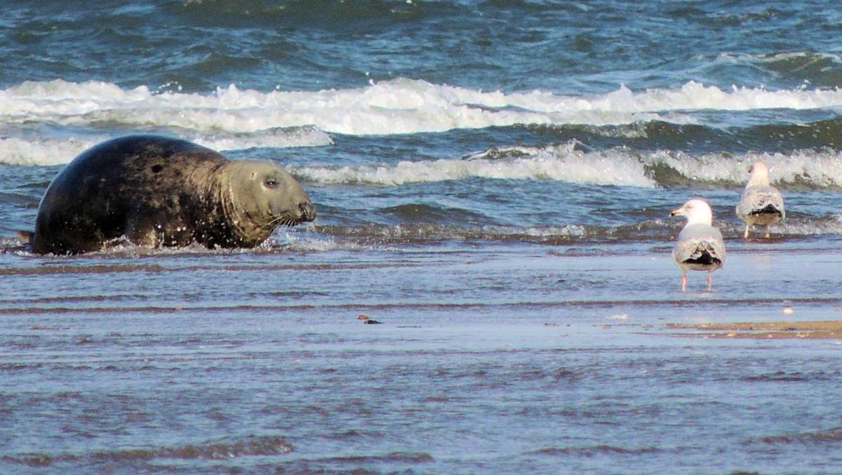 Seals at Tentsmuir