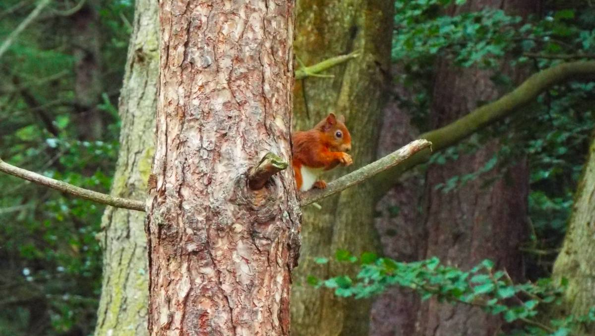 Squirrels at Morton Loch